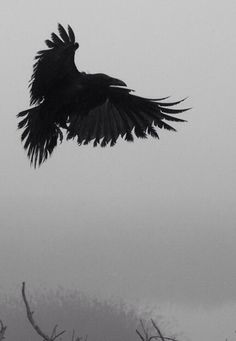 Ravens: Raven in Flight.