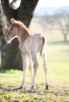 Foal Coats are extremely hard to determine sometimes. I can't tell whether this one is going to be a regular Chestnut or a Strawberry Roan. Any suggestions?