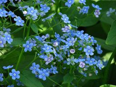 Brunnera macrophylla by Kor!An (Андрей Корзун) (Own work) [CC BY-SA 3.0 (http://creativecommons.org/licenses/by-sa/3.0)], via Wikimedia Commons