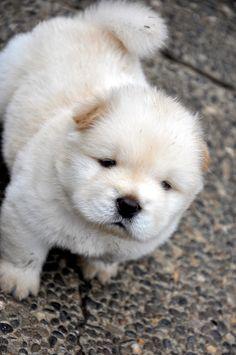 Chow puppie