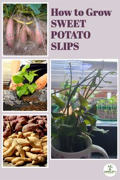 What are sweet potato slips? They are the sprouting shoots that grow out of the sweet potato tubers. Sweet potatoes do not grow from seed, you need to produce slips from a tuber and then grow these on to propagate a sweet potato plant. // grow garden // things that grow // growing together // how to grow your faster // how to make grow // #growing a garden #how to make your grow grow #grow your own food #how to grow a garden Vegetable Garden Soil, Container Gardening Vegetables, All Vegetables, Growing Vegetables, Sweet Potato Slips, Sweet Potato Plant, Grow Potatoes In Container, Growing Sweet Potatoes, Organic Soil