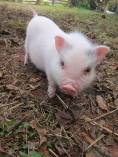 The things I would do for a pet pig