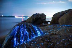 Des milliers de crevettes bioluminescentes illuminent une côte au Japon