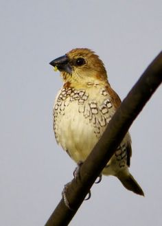 Scaly-breasted Munia. Mysore,Karnataka. India.