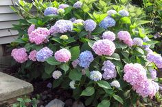 Top Curb Appeal Plants to Hide Your Foundation:  Hydrangea (Hydrangea macrophylla)