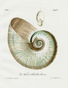 Georg Wolfgang Knorr Original Antique Shell Prints 1757