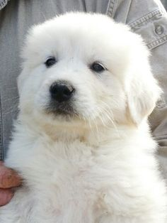 One of our Great Pyrenees puppies...such a proud girl!!