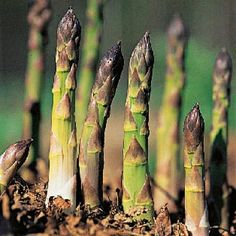 An asparagus bed takes a little work to establish and a couple of years to produce, but then you can enjoy fresh asparagus for 20 plus years....without ever replanting.