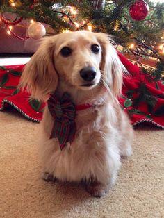 Lena, the English cream long-haired dachshund