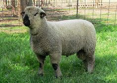 Sheep, 160 pounds and Maine on Pinterest