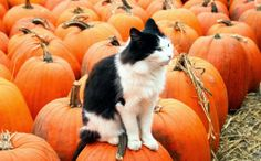 Cat on a pumpkin farm in Warwick, England. Cats and pumpkins. Click through to see more pictures of Halloween cats: www.traveling-cats.com