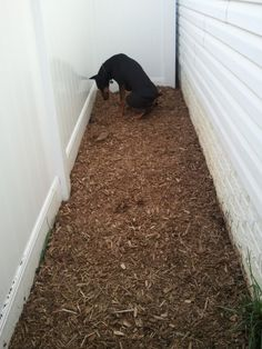 Save your lawn from dog feces and urination! Potty Area How To | Canine Training Center