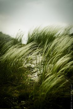 grass dancing in the wind