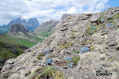Cliff Booker -foto....  Eritrichium nanum - The King of the Alps - Here colonising a conglomerate escarpment in the Dolomites. So difficult in cultivation and yet so prolific in it's natural habitat.