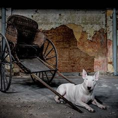 It's a Dog's Life. Bull Terrier.