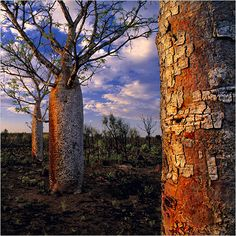 Boab Tree - Derby, West Kimberley - Australia - photo by Adam Monk - COPYRIGHT