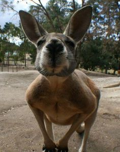 ever wonder what a kangaroo looks like up close? Perth, Brisbane, Melbourne, Baby Animals, Cute Animals, Happy Puppy, Animals Of The World, Funny Cute, Beautiful Creatures