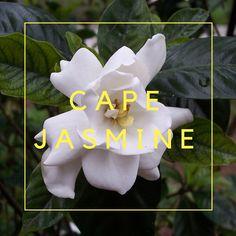 Cape Jasmine. Somervell County Master Gardeners