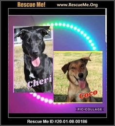 - Wisconsin German Shepherd Rescue - ADOPTIONS - Rescue Me! German Shepherd Rescue, Australian Shepherd, Animal Adoption, Pet Adoption, See Picture, Picture Video, World Organizations, 1 Year Olds, Rescue Dogs