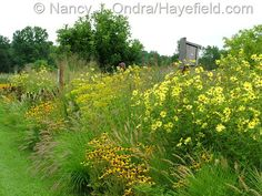 Helianthus 'Lemon Queen' with Pennisetum alopecuroides 'Cassian', Rudbeckia fulgida var. fulgida, and Patrinia scabiosifolia; Nancy J. Ondra at Hayefield