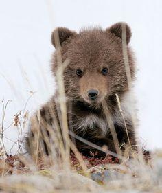 A brown bear cub sitting in long grass.