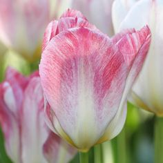 Tulip Flaming Purissima. Welcome spring with this elegant, early-blooming tulip. Like all Emperor tulips, the flowers change day by day, opening ever wider as they mature