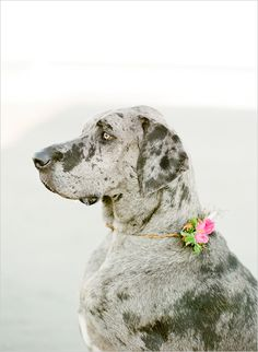 I love this picture of a Dane with a pretty little flower around her neck--- just because she maybe a little big boned-- doesn't mean she can't be girly also!