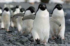 Progress for penguins! Global Adélie penguin population much larger than previous estimates.