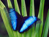 Morpho Butterfly  Manu National Park  Peru