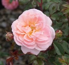 ~Apricot Drift Rose is a groundcover rose flowering late spring into fall.