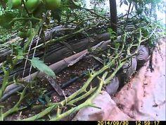 выращивание томатов в октябре