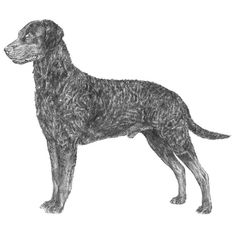 The Curly Coated Retriever is one of the oldest of the retriever breeds, dating back to the 1700's in England.