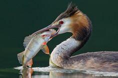 Haubentaucher frisst großen Fisch