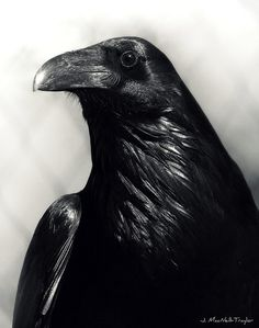 Raven - I really should change the name of this Board to include these amazing birds. Quoth....
