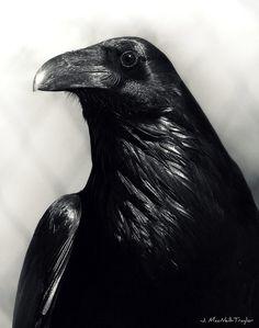 Raven by Jennifer MacNeill-Traylor http://gypsymare.blogspot.com
