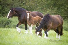 German Shire Horse club eV