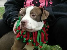 Petango.com – Meet Mr. Jiggles 81, a 3 years Terrier, American Pit Bull / Mix available for adoption in CLEVELAND, OH