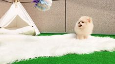 Marvelous Pomeranian Does Your Dog Measure Up and Does It Matter Characteristics. All About Pomeranian Does Your Dog Measure Up and Does It Matter Characteristics. Teacup Puppies For Sale, Cute Puppies, Cute Dogs, Dogs And Puppies, Doggies, Spitz Pomeranian, Teacup Pomeranian, Pomeranian Colors, Pomeranians