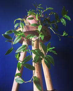 Foliage Plants, All Plants, Live Plants, House Plants, Wondering Jew Plant, Types Of Houseplants, Arrowhead Plant, Garden Nook, Wandering Jew