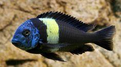 Tropheus Duboisi