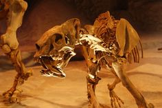 Barbourofelis loveorumat theFlorida Museum of Natural History. Barbourofelidaeis anextinctfamilyof mammalian carnivoresof the suborder Feliformiathat lived inNorth America,Eurasia andAfricaduring theMioceneepoch (16.9—9.0Ma) and existed for about7.9million years.