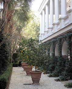 Allee in Charleston with columns, vines, boxwood and Meyer lemon trees surrounded by a pebbled walk - Deborah Nevins