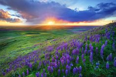 Last Moments From The Palouse - This was taken from Steptoe Butte State Park. For a few days the hills get covered in lupine and arrowroot balsam.