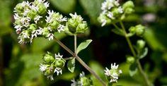 Dandelion, Paradis, Remedies, Plant, Dandelions, Taraxacum Officinale