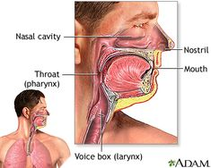Anatomy and function of the respiratory system - Penn State Hershey Medical Center