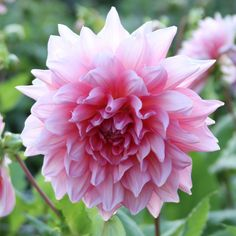 Dahlia Otto's Thrill. This classic dinnerplate dahlia is loved for its giant, 10