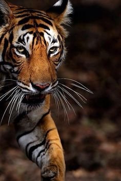Did you know, that every tiger has it's own set of stripes? Meaning, not one tiger has the same pattern as another, like a human fingerprint. Pretty Cats, Beautiful Cats, Animals Beautiful, Cute Animals, Grand Chat, Tiger Love, Cat Species, Tier Fotos, Bengal Tiger