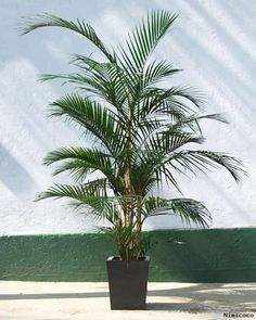 5 gorgeous pet safe houseplants cats posts and blog page for Areca palm safe for cats