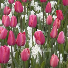 Renown is deep pink and will be a present factor in your spring garden. This French style tulip is one of the last flowering tulips in the spring. (Hyacinths not included) Variety Single Late Tulip Fl
