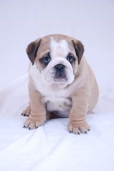 English bulldog , this is sooooo the next kind of dog I want and she shall be named tulip!!!!